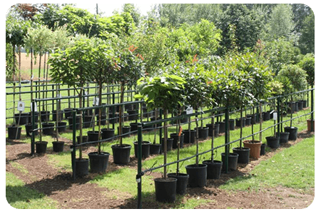 arbres-nos-plante-pepinier-pepinieredelillois-lillois