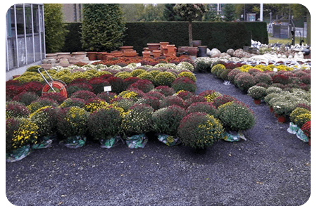 chrysanthemes-nos-plante-pepinier-pepinieredelillois-lillois
