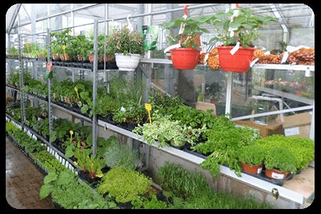 legumes-nos-plante-pepinier-pepinieredelillois-lillois