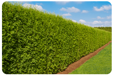 plante-haies-nos-plante-pepinier-pepinieredelillois-lillois
