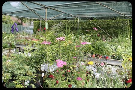 plante-vivace-nos-plante-pepinier-pepinieredelillois-lillois