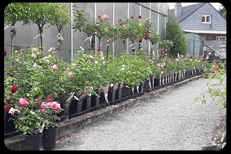 rosiers-nos-plante-pepinier-pepinieredelillois-lillois