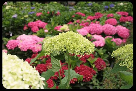 terre-de-bruyere-nos-plante-pepinier-pepinieredelillois-lillois